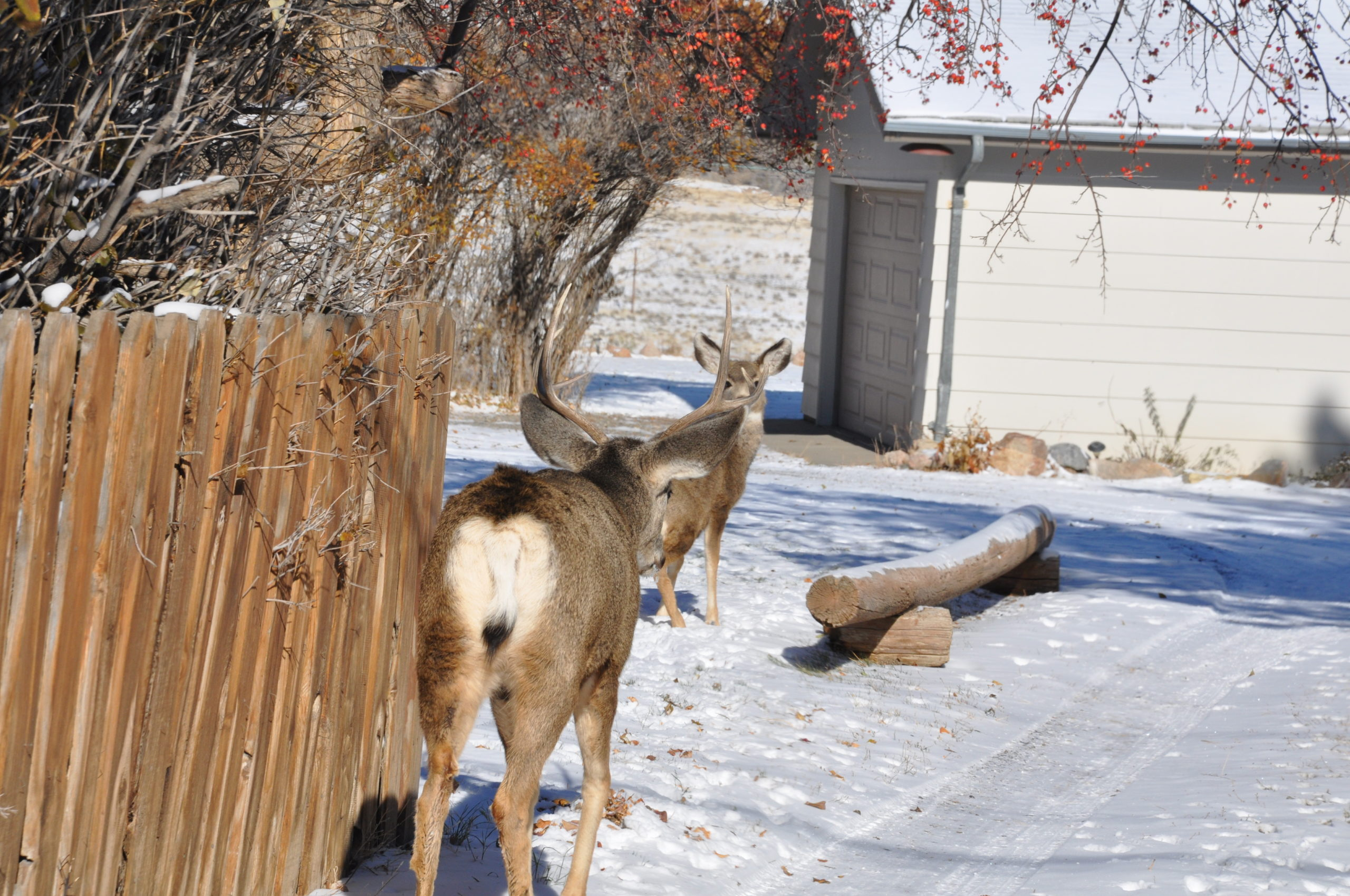 Whitetail Vs Mule Deer The Differences Why You Should