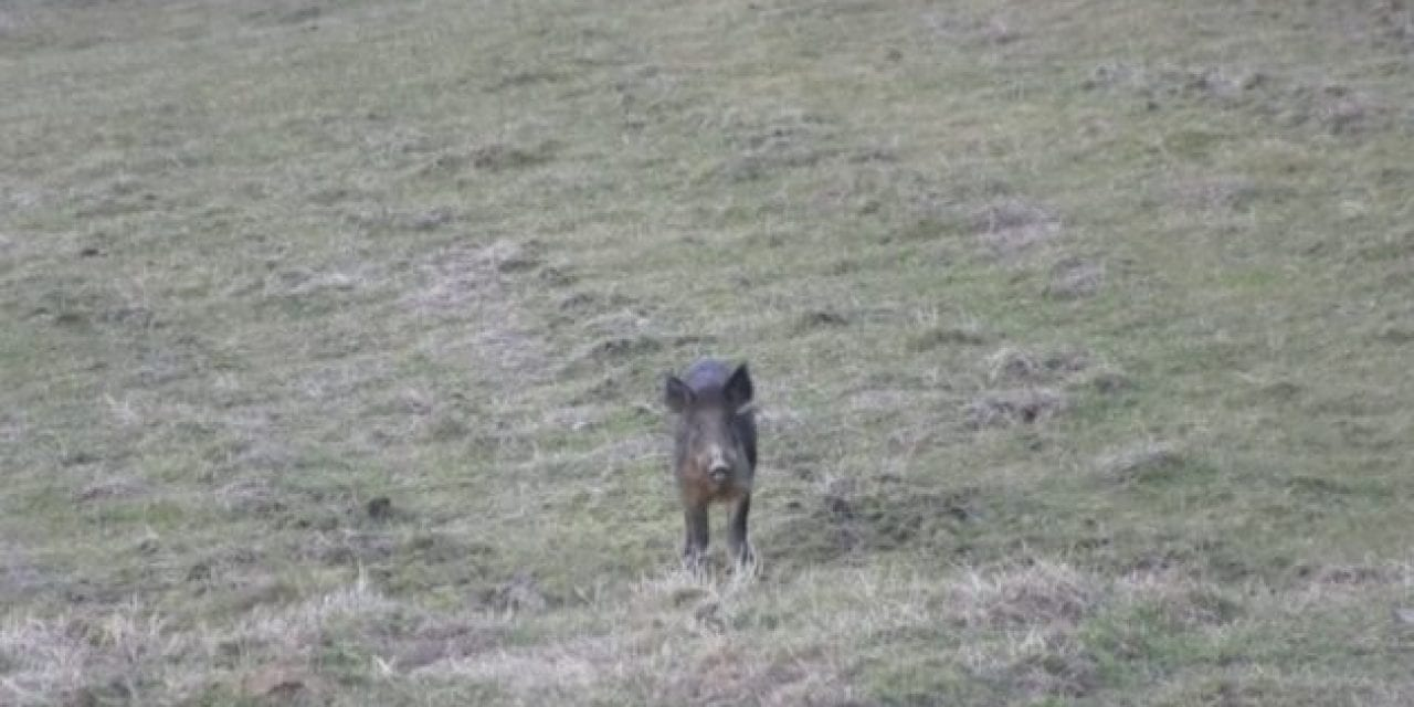 Hunter Drops Hog With a .45-70 Headshot ⋆ Outdoor