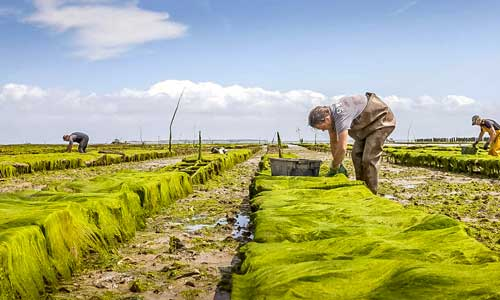 Hoe worden oesters gekweekt?
