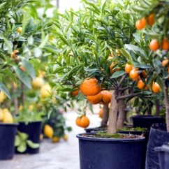 Compost Pots For Kitchen Drain You Can Dwarf Fruit Trees In And Growing Trays On The ...