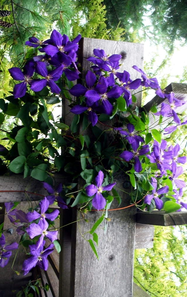 Clematis Climbing Plants  Tips for planting care and
