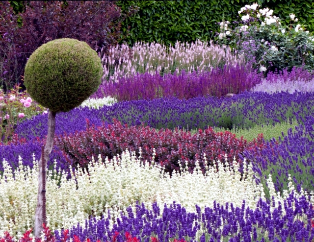 Care Tips Lavender In The Garden When You Have To Cut? Interior