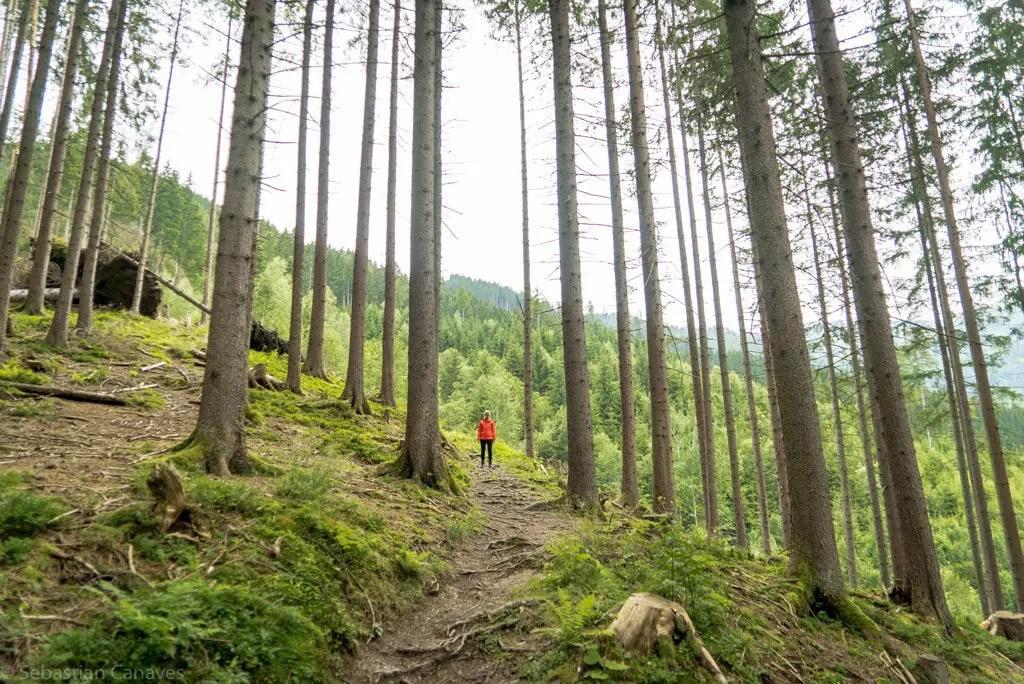 Gemischter Nadelwald - Vegetation