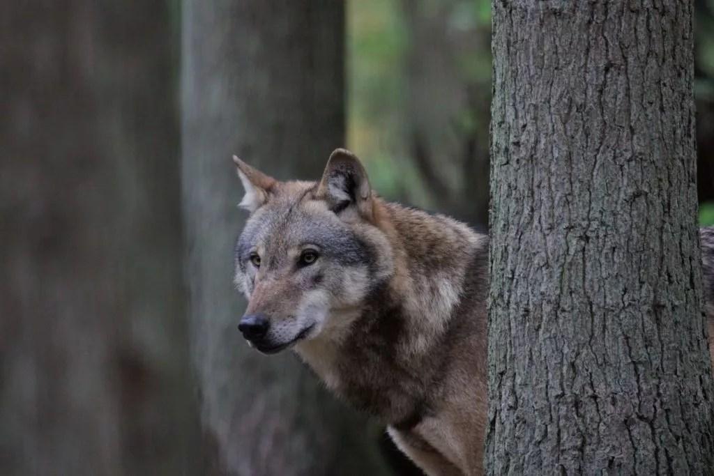 Wolf im Wolfcenter Dörfeden