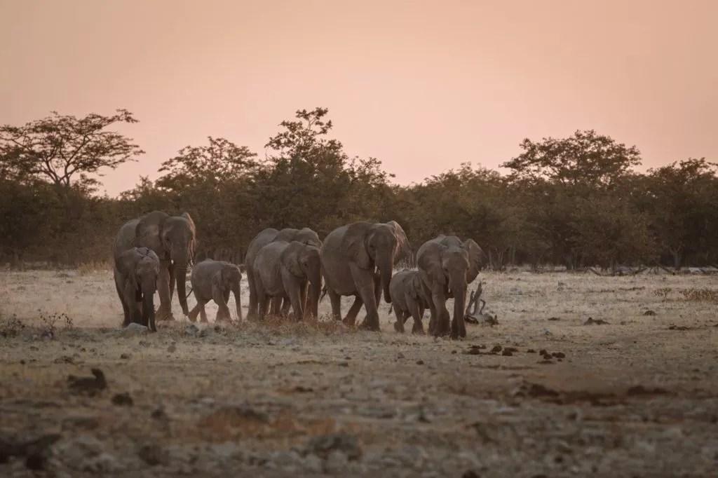 elefantengruppe auf dem weg zum wasserloch am okaukuejo camp im etosha nationalpark