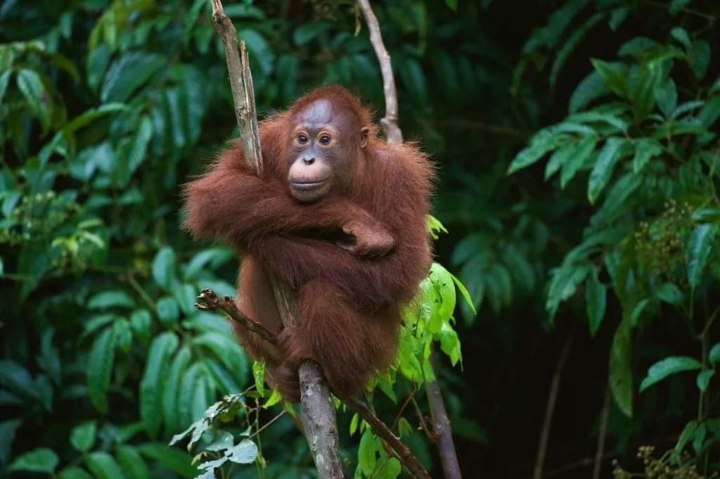 orang utan auf borneo malaysia