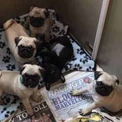 super cute pug puppies looking for their new homes