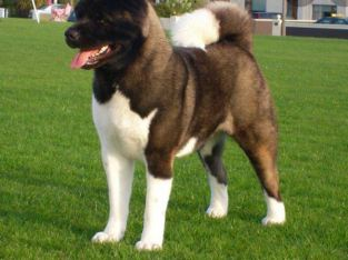 Akita puppy for sale, beautiful male Akita puppy. born in a little of two 01/09/2020