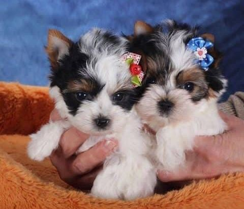 yorkie pups for sale