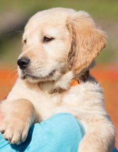 However this is the general guide for newborn dogs healthy puppy must double birth weight in first week breed precise growth chart can also golden retriever official rh officialgoldenretriever
