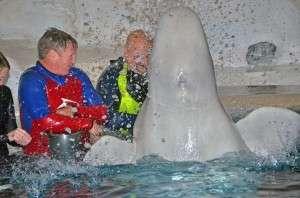 Beluga Whale Splash
