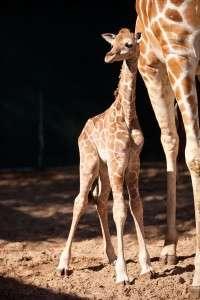 2 day old baby giraffe - Orlando Fun and Food