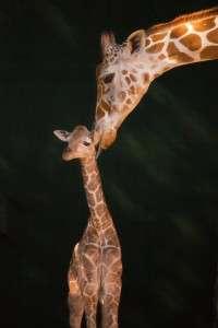 1 Day old baby giraffe - Orlando Fun and Food