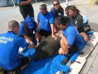SeaWorld Animal Rescue Team caring for 500th rescued manatee
