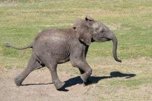 TLPZ African elephant Mavi running