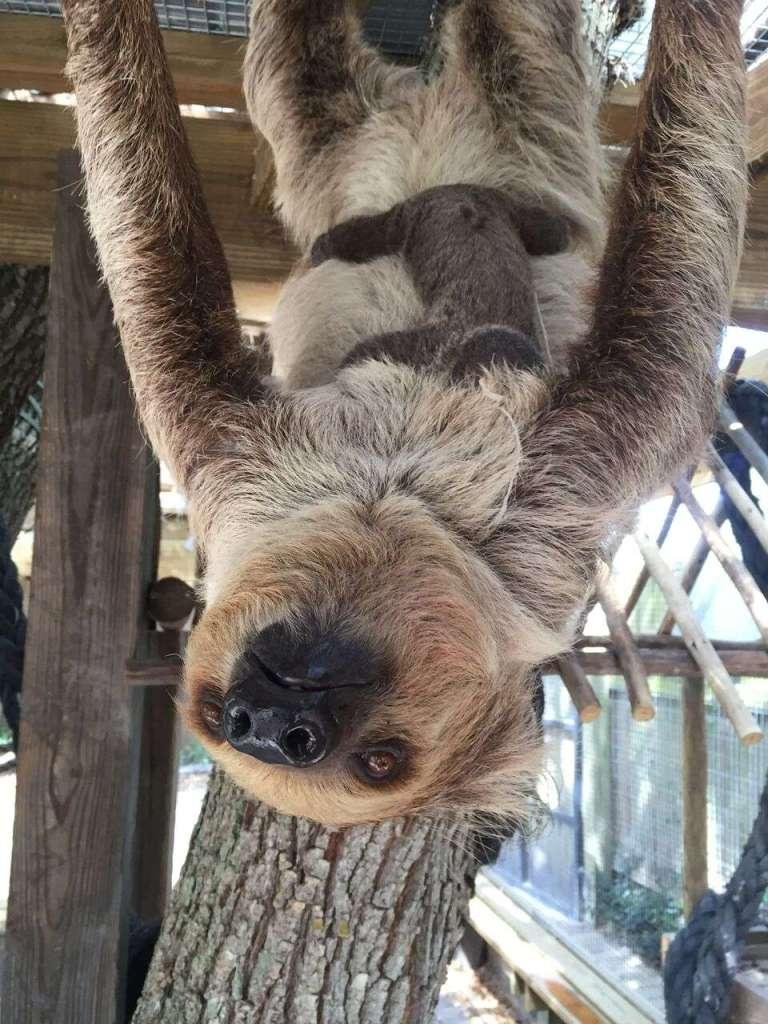Wild Florida Sloth