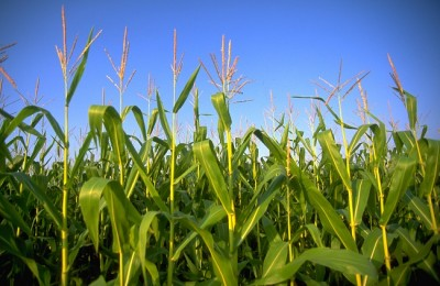 usda federal government crops study yield