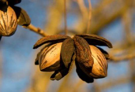 growing a nut tree