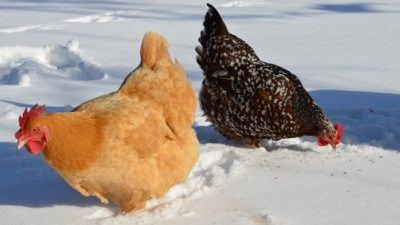 The Chicken Breeds You Need For Winter Eggs