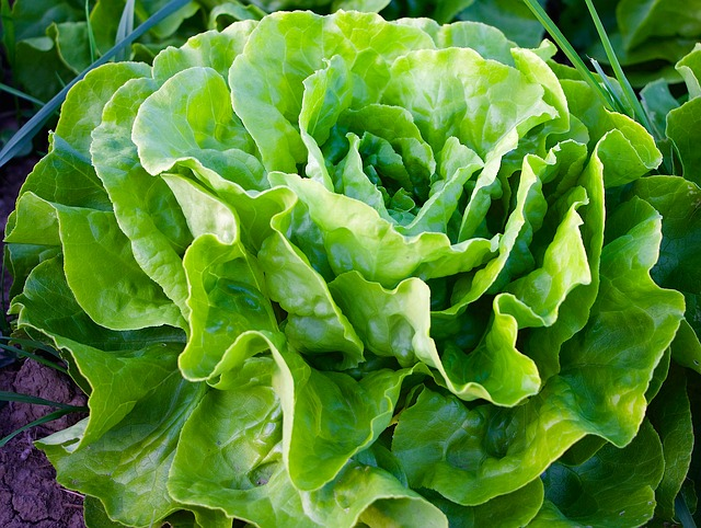 Growing Salad Year-Round: The Right Way To Do It