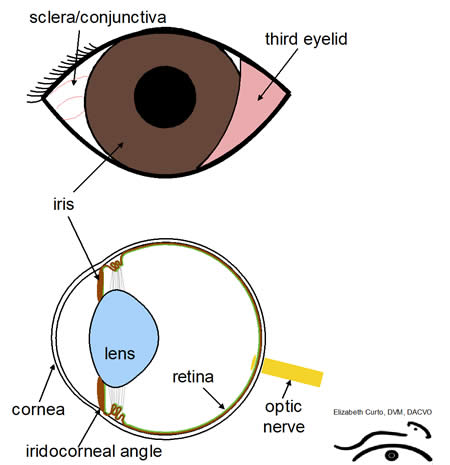 diagram for eye surgery cartoon rj31x wiring uveitis, intraocular inflammation in your pet | ophthalmology animals