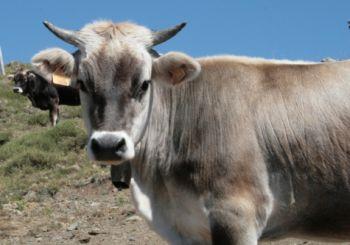 Cinquantenne alessandrina presa a testate da una vacca, ricoverata in ospedale