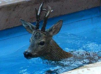 capriolo in piscina - q