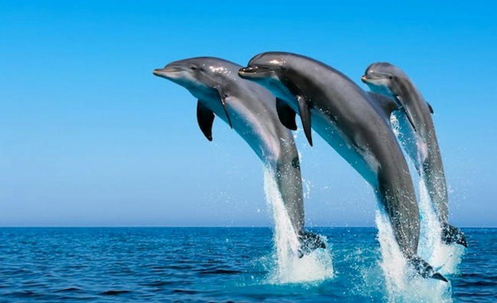 Aumentano gli avvistamenti di delfini e balene nel Ponente ligure