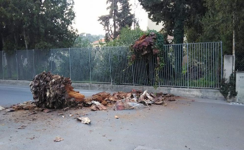 Palma caduta sulla strada a Diano Marina da un giardino abbandonato