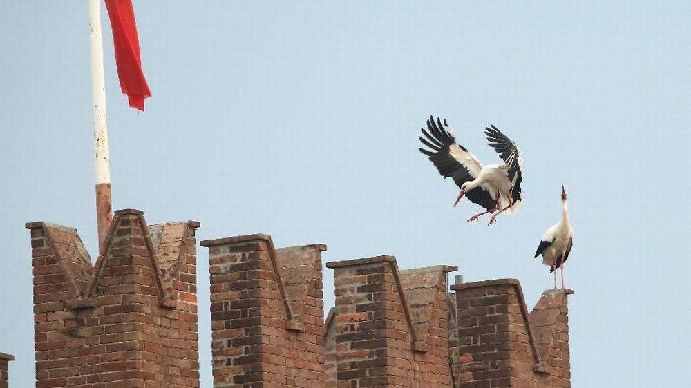 Sei cicogne avvistate a Castelnuovo Scrivia sulla torre merlata del Castello