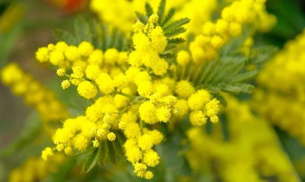 L'inverno caldo fa impazzire le fioriture nel Ponente ligure: la mimosa ad esempio