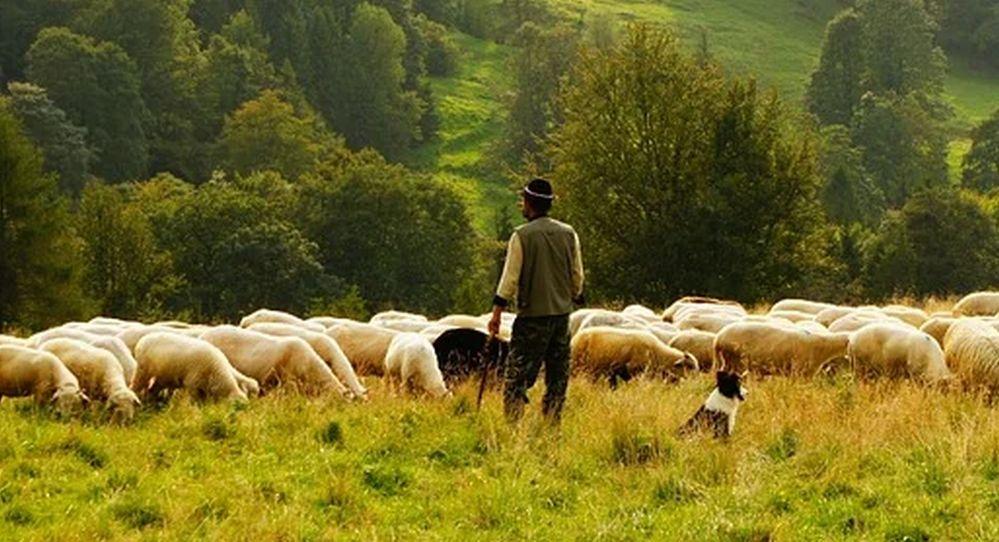 Duemila pecore invadono una proprietà privata nel casalese e si mangiano piantine, il pastore viene denunciato