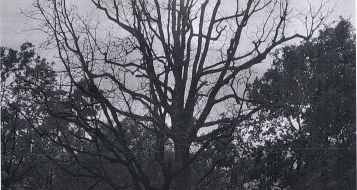 A Tortona questa pianta secolare è morta: da una decina di anni i cittadini  ne segnalavano la situazione al Comune