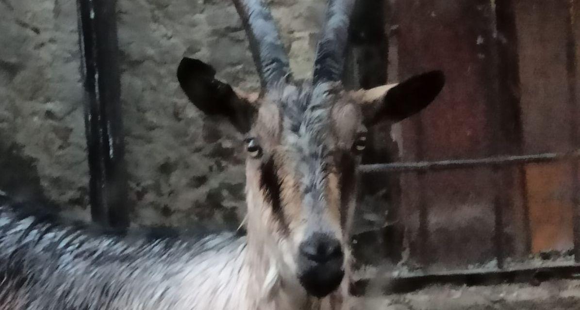 """Il """"Giovane Stambecco"""" di Tortona è una capra di una razza particolare scappata da una casa"""