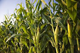 What Next After Planting of Maize?