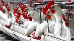 How to Start poultry Business