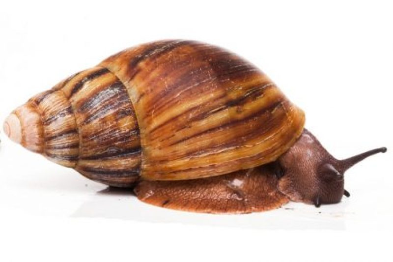 Snail Production in Nigeria