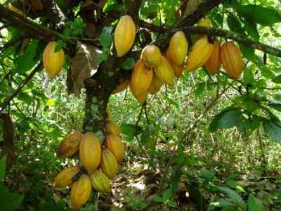Cultivating Cocoa
