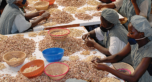 How to Process Cashew