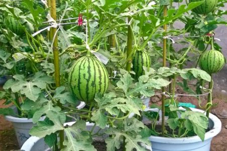 Easy Way to Grow Watermelons
