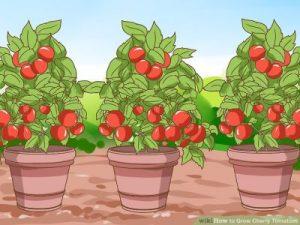 crowd tomato