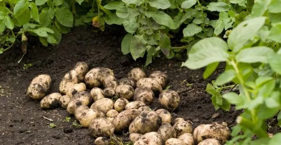 Pest and Diseases of Potatoes