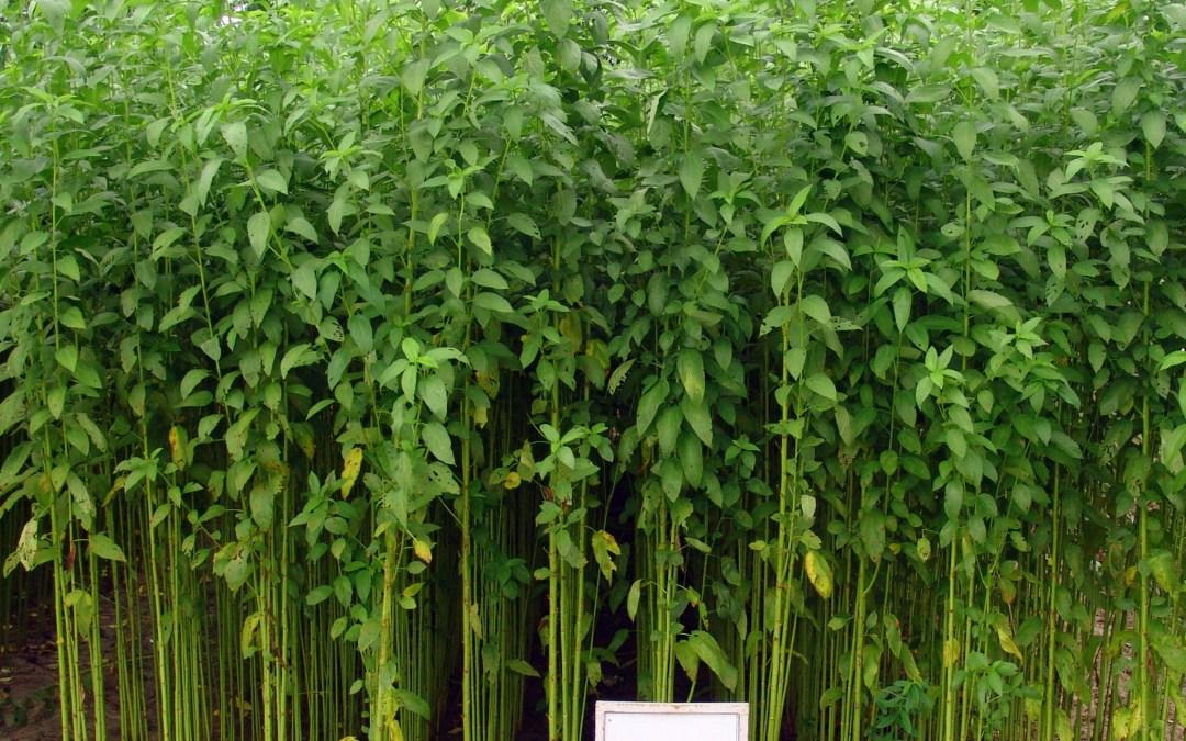 Jute-Plant
