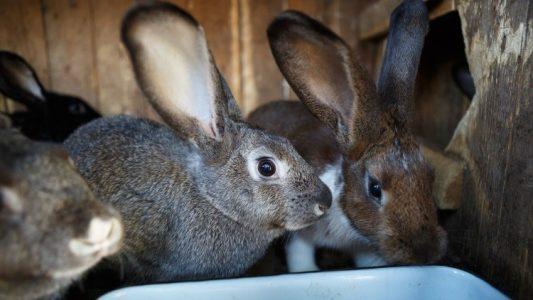 rabbit-production