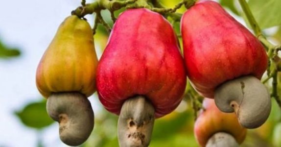 Cultivating Cashew Nuts