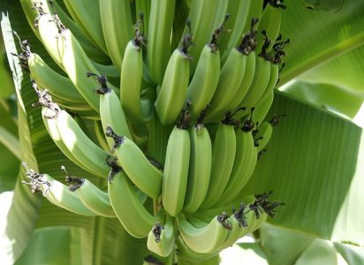 Plantain Plant Care – How to Grow Plantain Trees