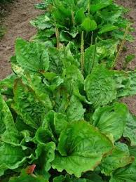 What are Plantain Herb Benefits: Learn about the Cultivation of Plantain