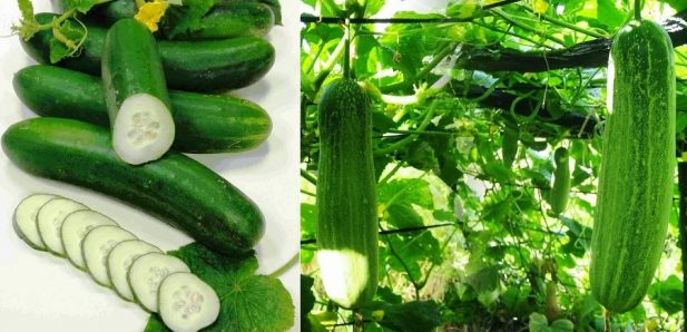 How to Start Cucumber farming in Nigeria