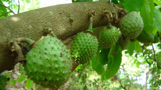 How To Tap Into The Huge Economic Potential Of Soursop Farming In Nigeria
