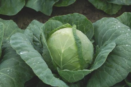 Enhancing the Cabbage Edibility